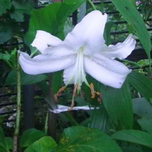 庭のカサブランカが咲いて