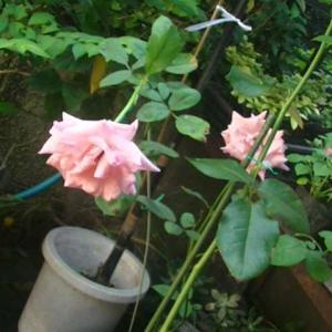 フリフリのバラが咲いています