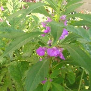 隣のホウセンカが咲いていいます。