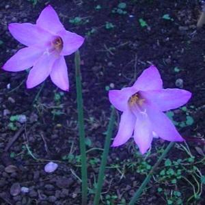 庭のレインリリーが咲きました