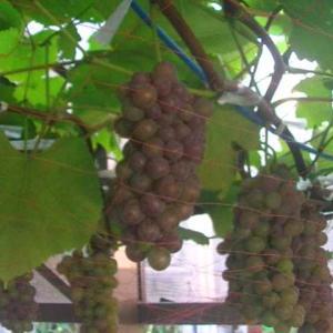 葡萄の色づきが増して