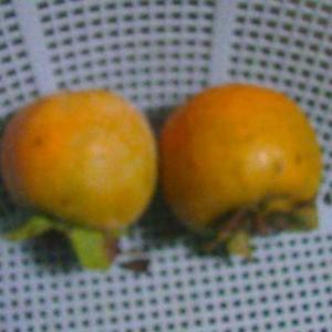 柿の禅寺丸を収穫しました