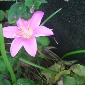 ゼフィランサスが咲きだしました