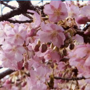 【京都府・大阪府】関西でも見れる河津桜〜生駒からの絶景ツーリング