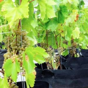 屋上でワイン栽培⁉️