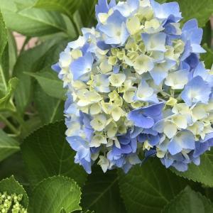 紫陽花の色は土によって変化するらしい。