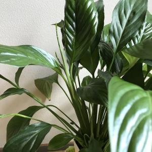 お部屋の空気がスッキリ爽やか❗️スパティフィラムは自然の空気清浄機✨