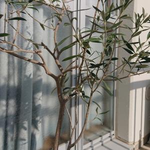ベランダで育てるオリーブの木の鉢植え