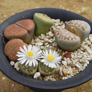 リトープス・種から育てる発芽までの様子 多肉植物