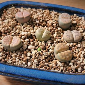 盆栽鉢に植え替え ~四角い鉢で育てるひと味違った可愛さ~