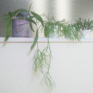 リプサリスを種から育てる☆チャレンジの経過