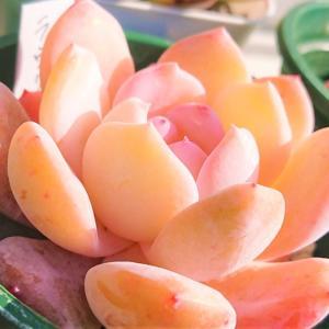 ラウリンゼの葉は焼ける、こげやすい。