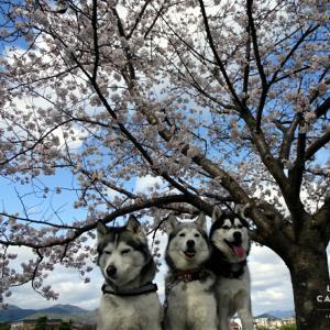 桜2020 嵐山