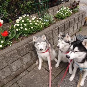 プチ散歩で桜の開花チェック