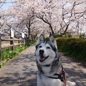 桜2020 芹川けやき道
