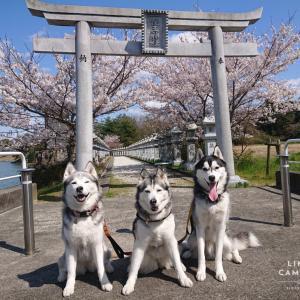 桜2020 月輪大池公園