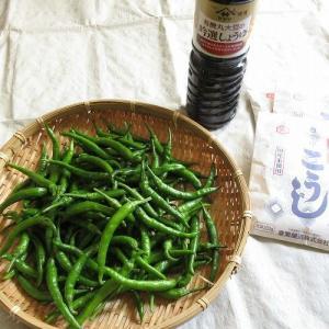 『季節の手仕事』青唐辛子(青なんばん)で北海道・東北地方の定番郷土料理、三升漬けを作る。