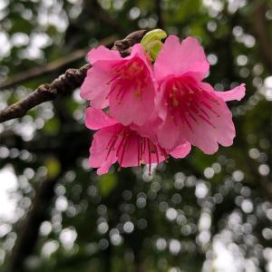 🌸寒緋桜🌸かんひざくら🌸