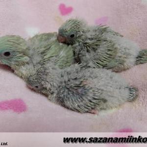 巣上げ雛と巣材