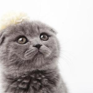 スコティッシュ・フォールドってどんな猫?オススメのごはんやちょっと悲しい歴史についてもご紹介します!