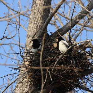 真冬だけどカッチは巣作り!