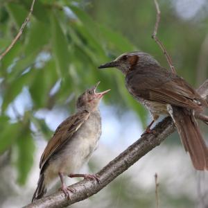 巣立ち雛が続々と〜コウライウグイスの巣立ちも
