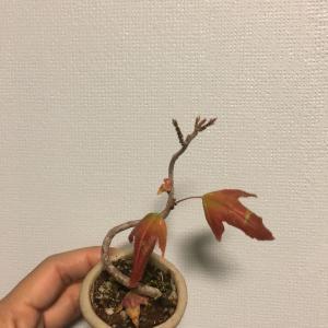 紅葉した!(bonsai)