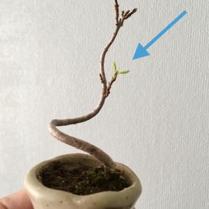 盆栽は冬が見どころ