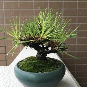 剪定の日(bonsai)