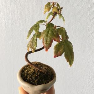 紅葉のはじまり(bonsai)