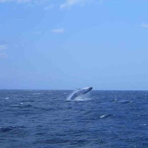 冬の沖縄観光 ホエールウォッチングで楽しむ。