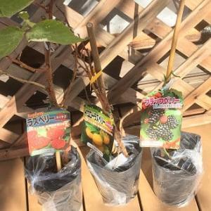 序でに買った3種の木苺をどう植えようか?と!~自然農園~