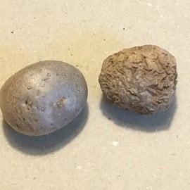 宇宙芋は寒くなるまでに穫れと!~自然農園~