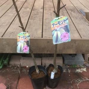 ナッツ類で唯一のアルカリ性食品だというアーモンドの苗木も取り寄せた!~自然農園 & 何となくスピリチュアル~