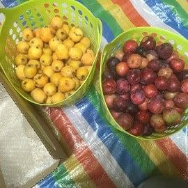 慌てて枇杷とニンニクを穫りに行っていた!~自然農園~