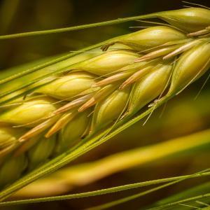 もち麦ご飯にダイエットの効果はあるのか?カロリーや糖質 栄養成分は?