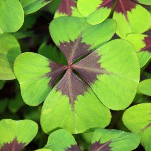 四つ葉のクローバーの花言葉が怖いのは本当?見つかる確率と見つけ方は?