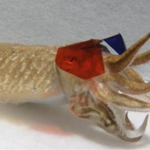 イカに3Dメガネをかけてみたら、こうなった。(ミネソタ大学の研究より)