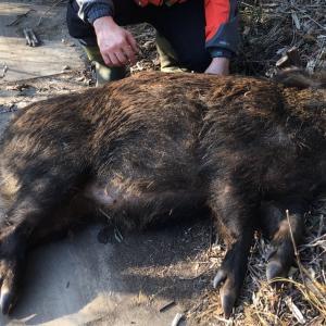 初めて仕留めた猪