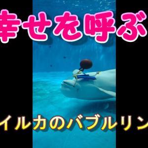 【動画】幸せを呼ぶシロイルカのバブルリング