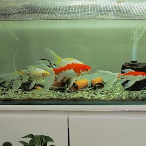 うちの金魚たち