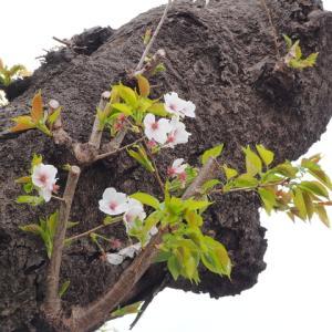 桜は生きていた