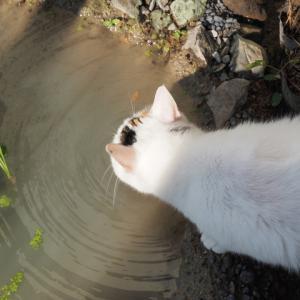 ミョウバンで池が透明に