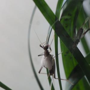鈴虫テラリウムその2、成虫・幼虫・鳴き声