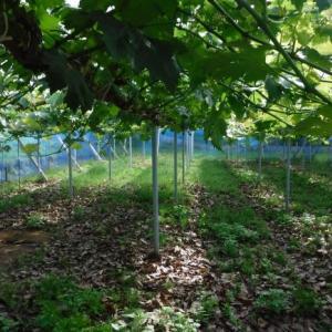 落葉の絨毯の防草効果