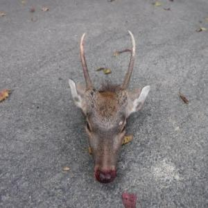 鹿の解体などで忙しい日