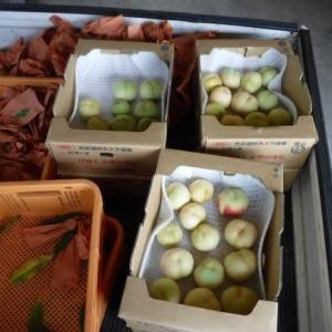桃の収穫(白鳳)