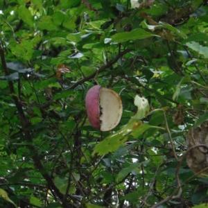 秋の味覚 アケビ