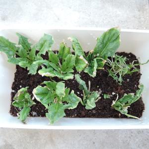 再生野菜(リボベジ)から得た認知行動療法のヒント [ベランダ菜園]