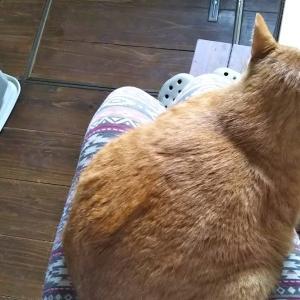 元のら猫膝に乗る